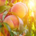 Gene's Peaches Logo