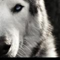 Loki the Wolfdog USA Logo