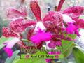naturalorchids Logo