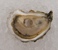 Island Creek Oysters Logo