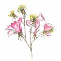 Thyme UK Logo